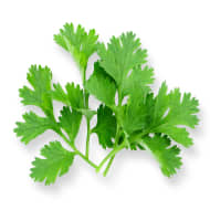 Coriander W/o Roots
